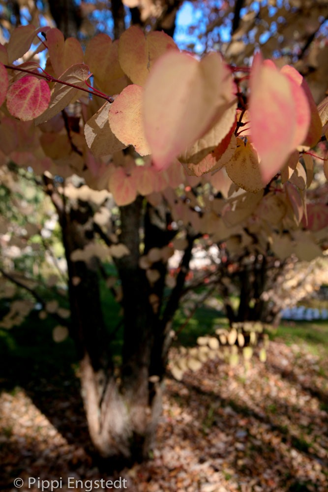 Kinaparken_katsura.jpg